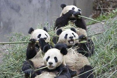 Прикрепленное изображение: панда.jpg
