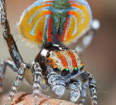Прикрепленное изображение: павлиний паук.jpg