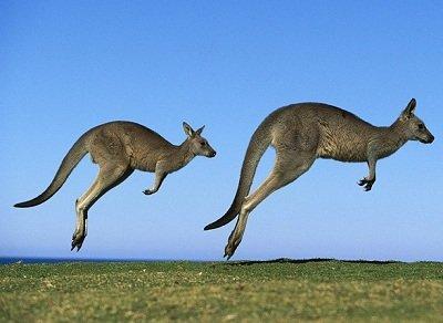 Прикрепленное изображение: кенгуру.jpg