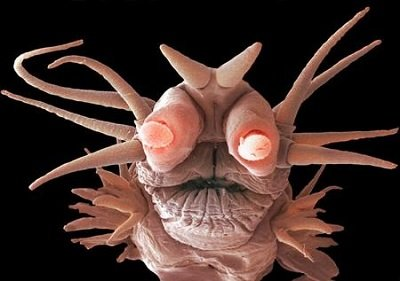 Прикрепленное изображение: помпейский червь.jpg