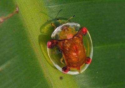 Прикрепленное изображение: жук черепаха.jpg