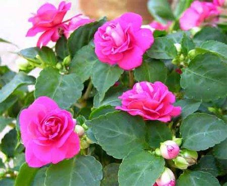 Прикрепленное изображение: бальамин розовый.jpg