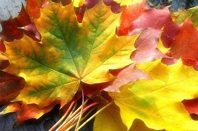Прикрепленное изображение: охапка листьев.jpg