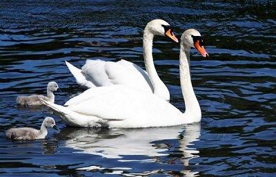 Прикрепленное изображение: семейка лебедей.jpg