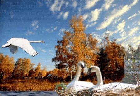 Прикрепленное изображение: лебединые пары.jpg