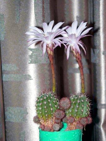 Прикрепленное изображение: kaktus1.jpg