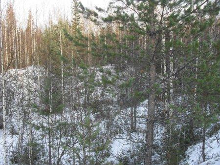 Прикрепленное изображение: лес 1.jpg