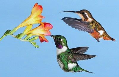 Прикрепленное изображение: колибри.jpg