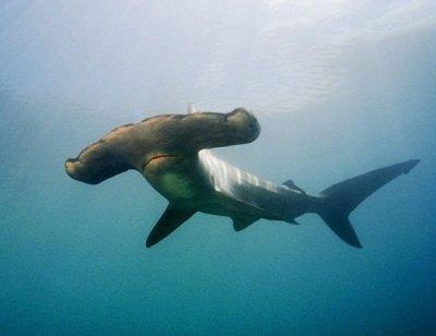 Прикрепленное изображение: рыба-молот.jpg